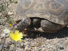 Desert Tortoise001_June2016_low