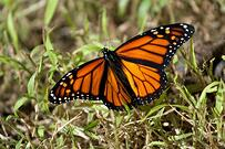 a-beautiful-monarch-butterfly-shallow-depth-of-field_low