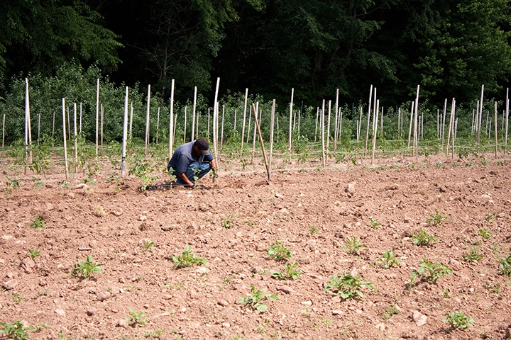 a-farm-laborer-or-farmer-planting-tomato-plants-in-rows-in-the-field_low